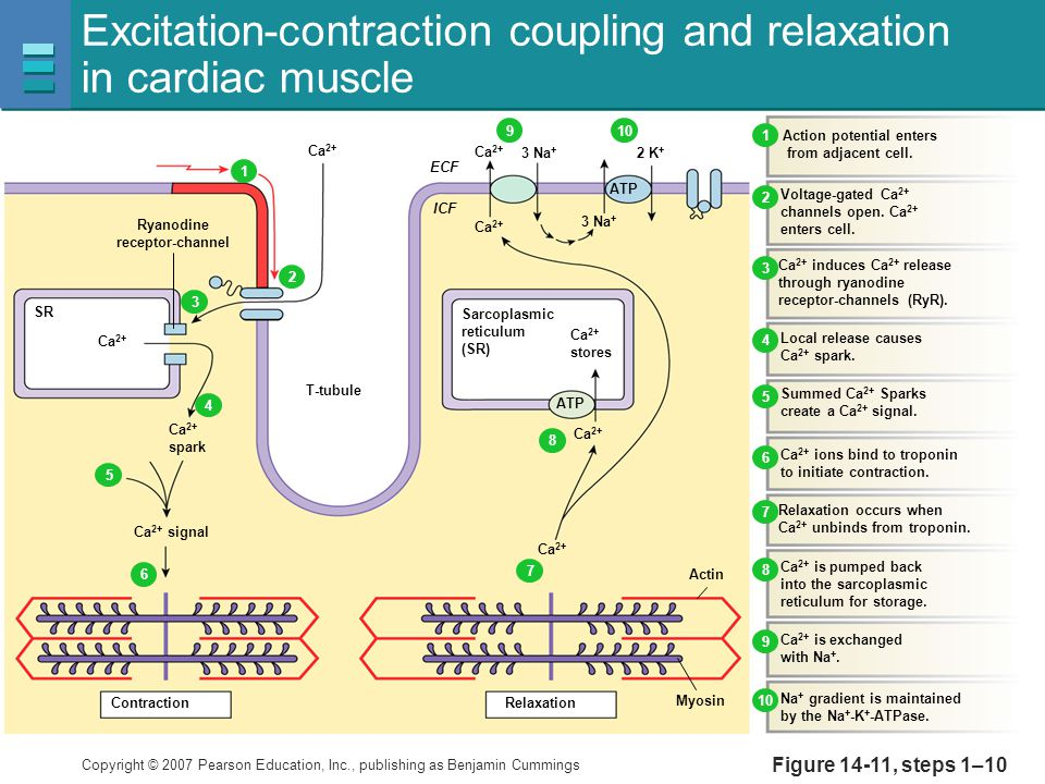Excitation-contraction coupling and relaxation in cardiac muscle