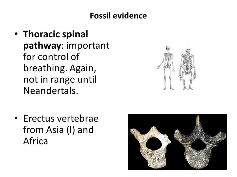 Erectus vertebrae from Asia (l) and Africa