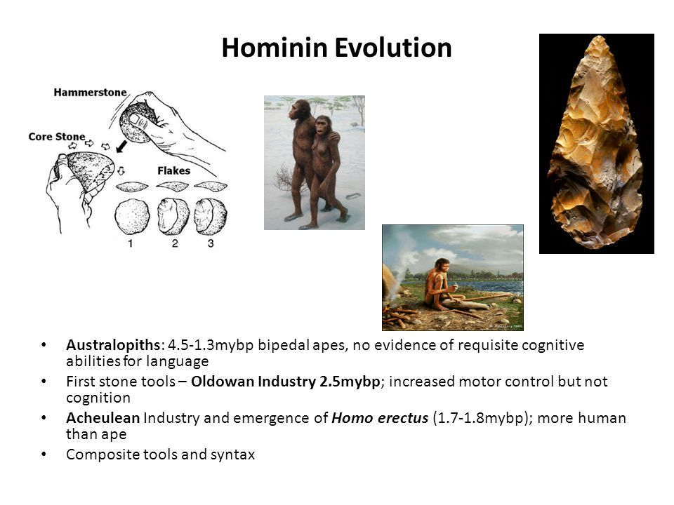 Hominin Evolution Australopiths: 4.5-1.3mybp bipedal apes, no evidence of requisite cognitive abilities for language.