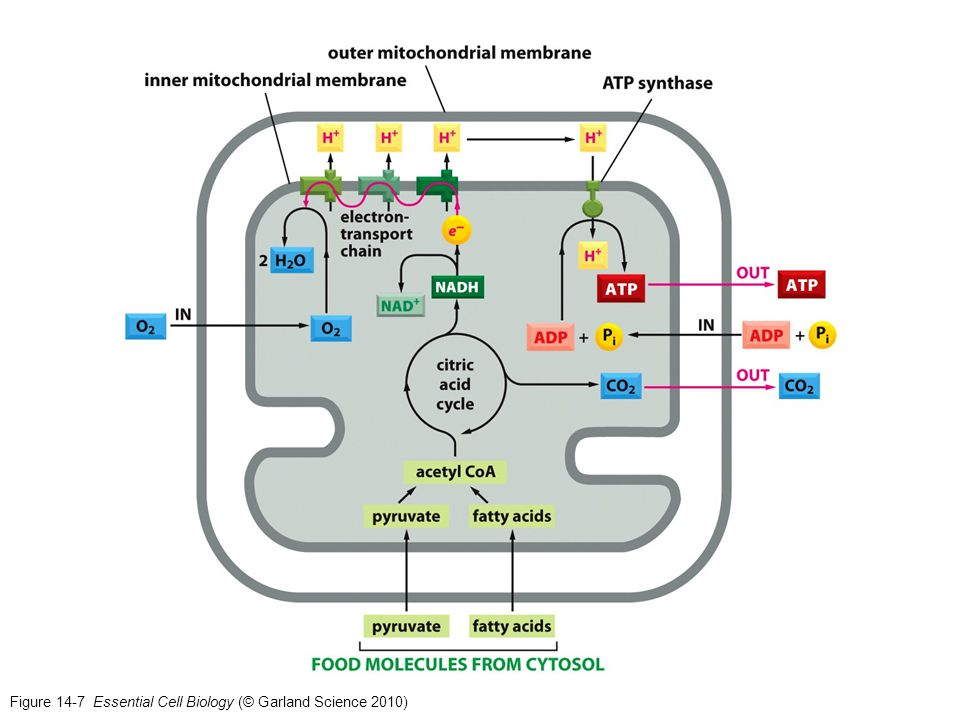 Figure 14-7 Essential Cell Biology (© Garland Science 2010)