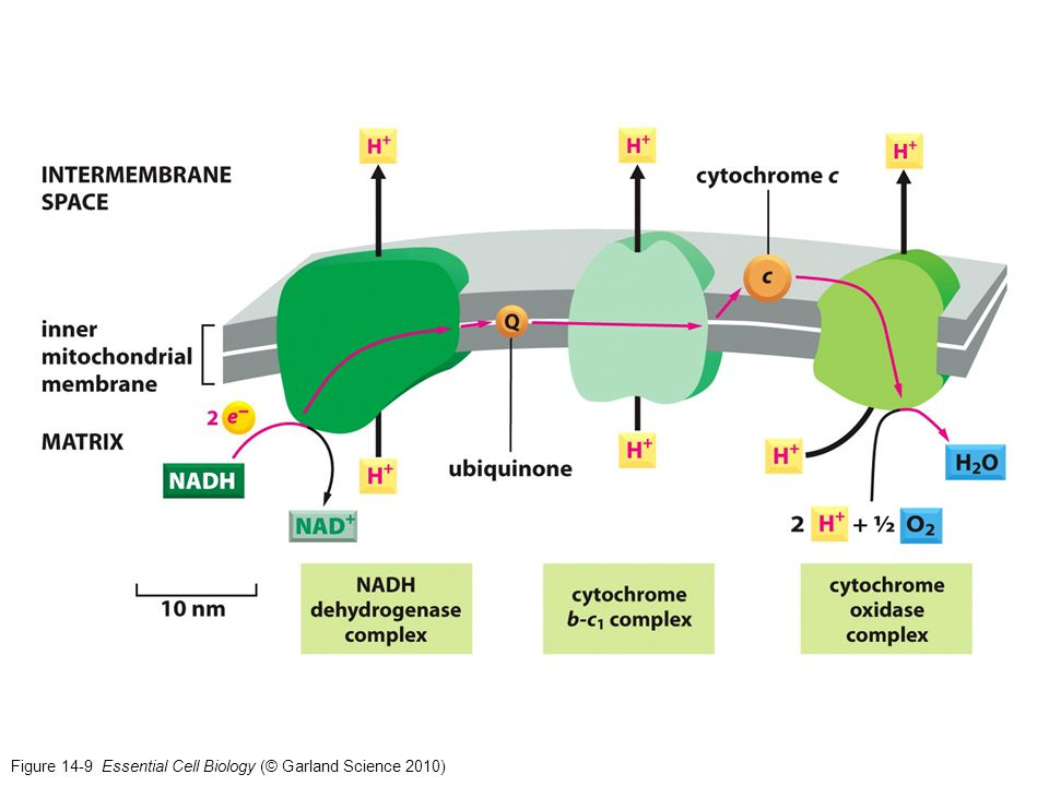 Figure 14-9 Essential Cell Biology (© Garland Science 2010)