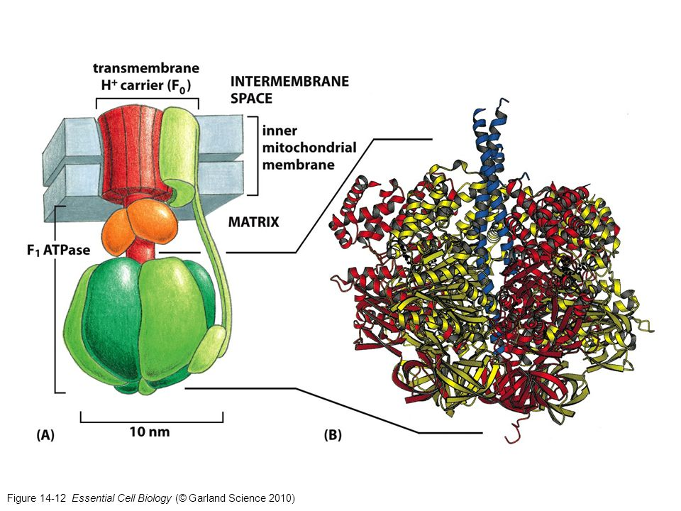 Figure 14-12 Essential Cell Biology (© Garland Science 2010)