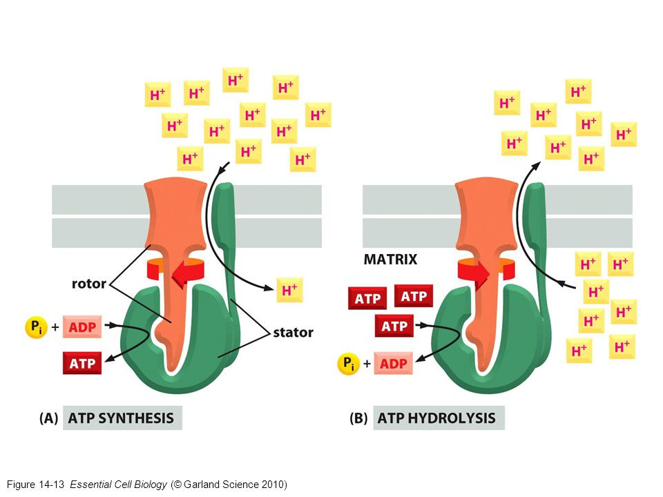 Figure 14-13 Essential Cell Biology (© Garland Science 2010)