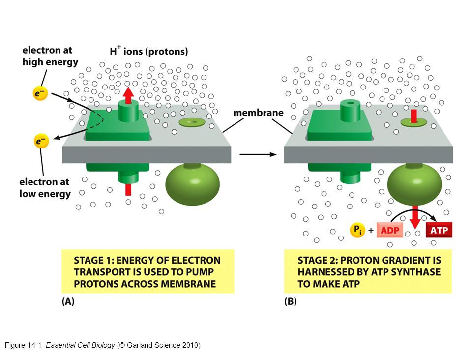 Figure 14-1 Essential Cell Biology (© Garland Science 2010)