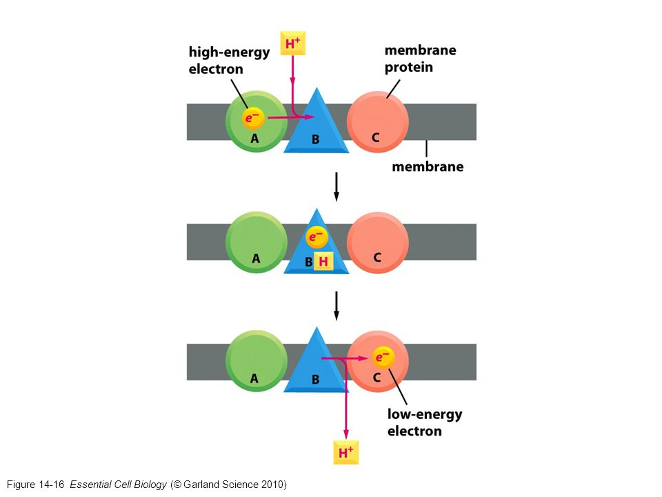 Figure 14-16 Essential Cell Biology (© Garland Science 2010)