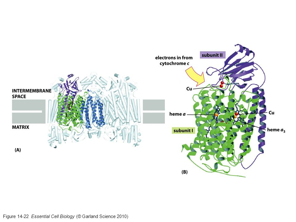 Figure 14-22 Essential Cell Biology (© Garland Science 2010)