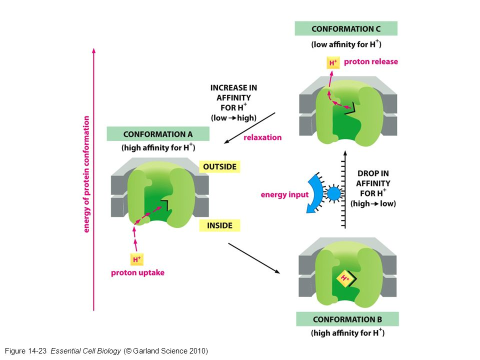 Figure 14-23 Essential Cell Biology (© Garland Science 2010)