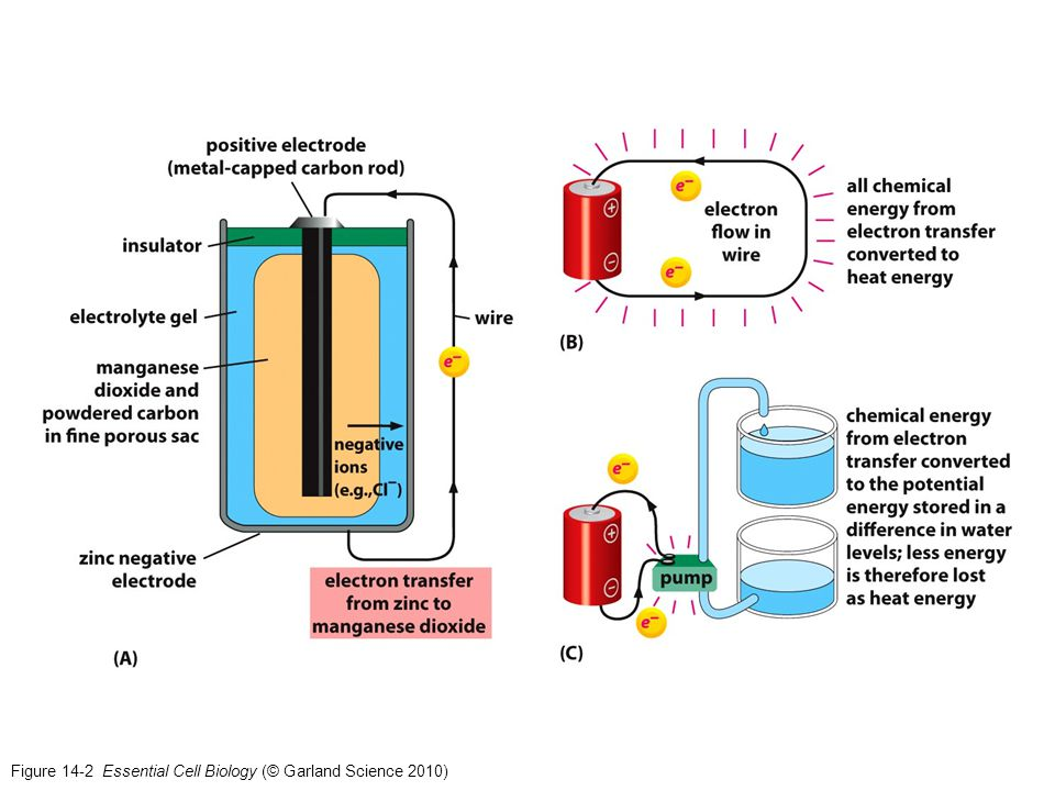 Figure 14-2 Essential Cell Biology (© Garland Science 2010)