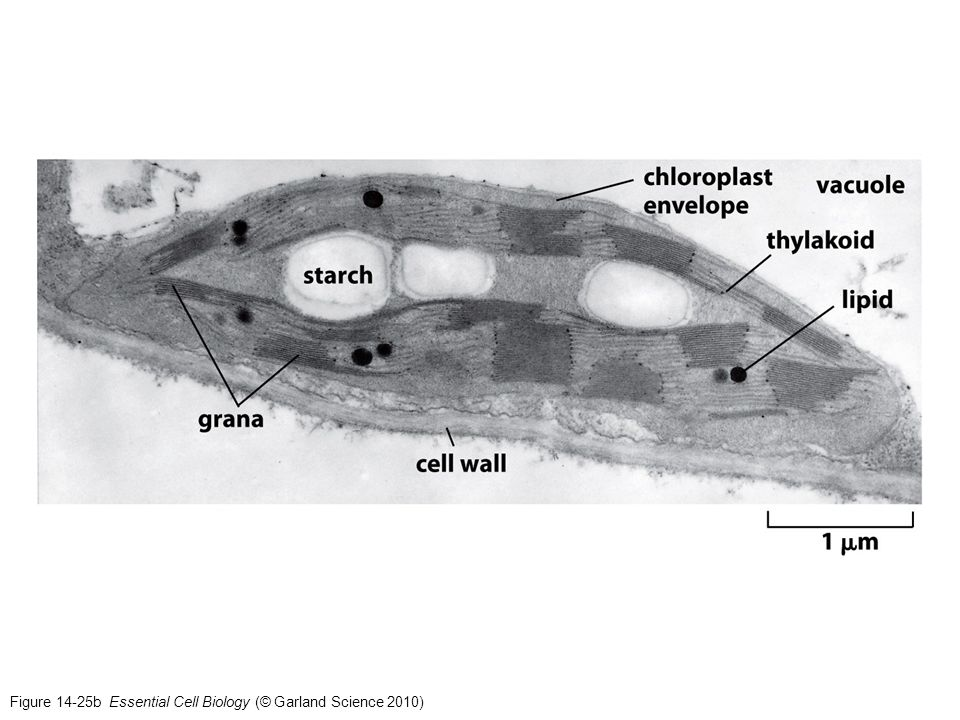 Figure 14-25b Essential Cell Biology (© Garland Science 2010)