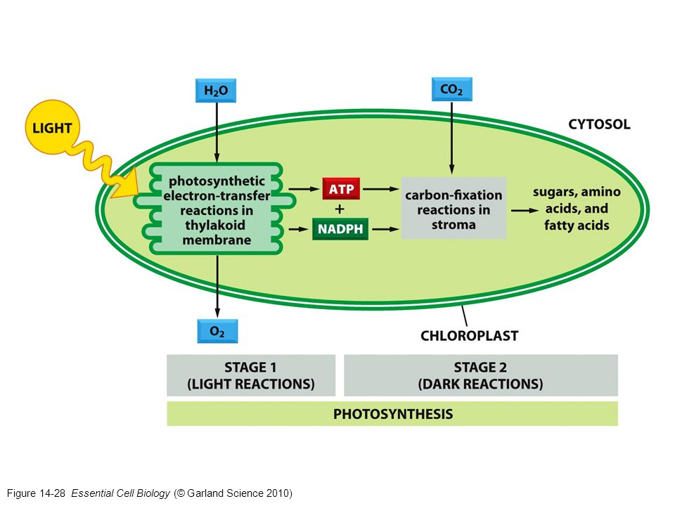 Figure 14-28 Essential Cell Biology (© Garland Science 2010)