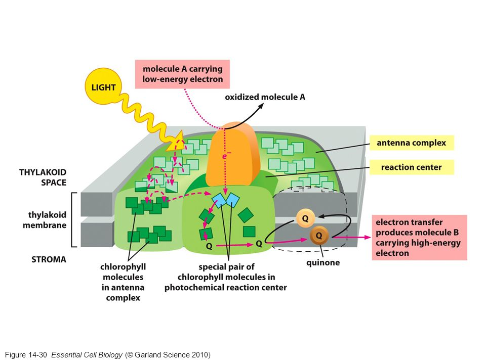 Figure 14-30 Essential Cell Biology (© Garland Science 2010)