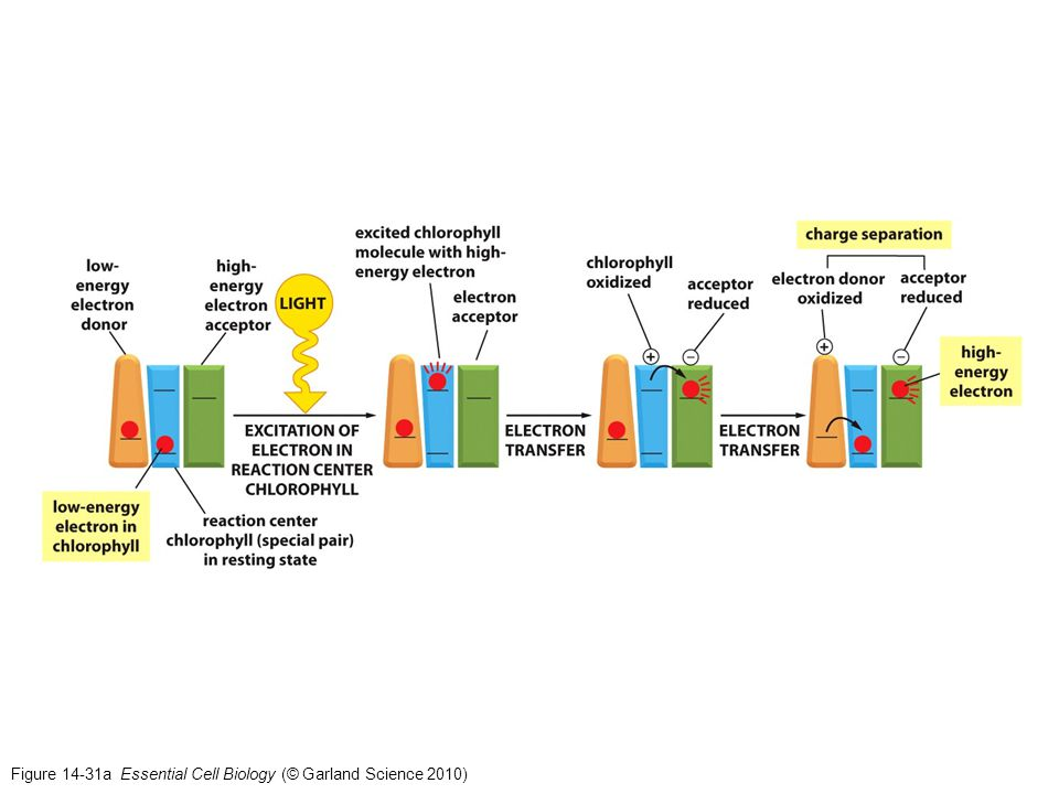 Figure 14-31a Essential Cell Biology (© Garland Science 2010)