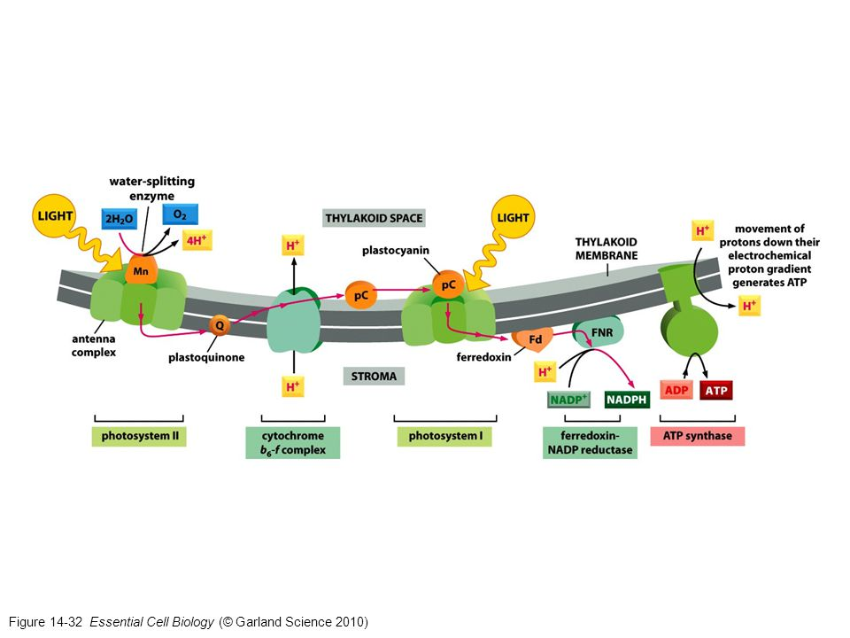 Figure 14-32 Essential Cell Biology (© Garland Science 2010)