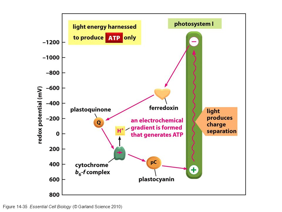 Figure 14-35 Essential Cell Biology (© Garland Science 2010)