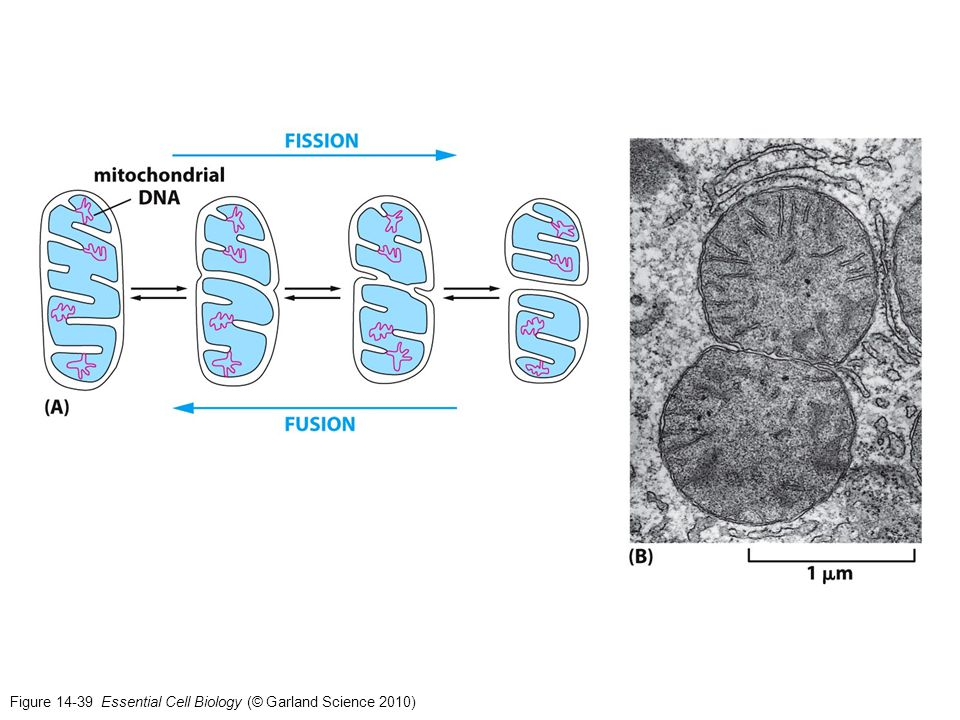 Figure 14-39 Essential Cell Biology (© Garland Science 2010)