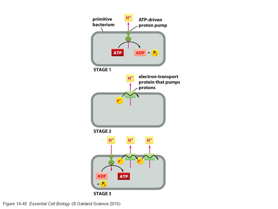Figure 14-40 Essential Cell Biology (© Garland Science 2010)