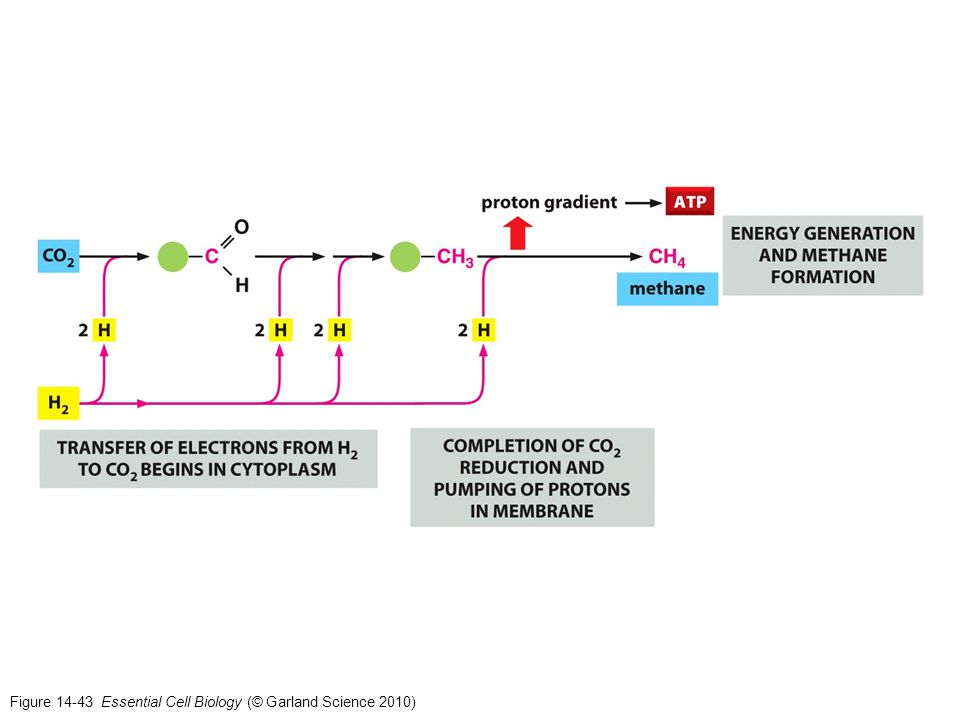 Figure 14-43 Essential Cell Biology (© Garland Science 2010)