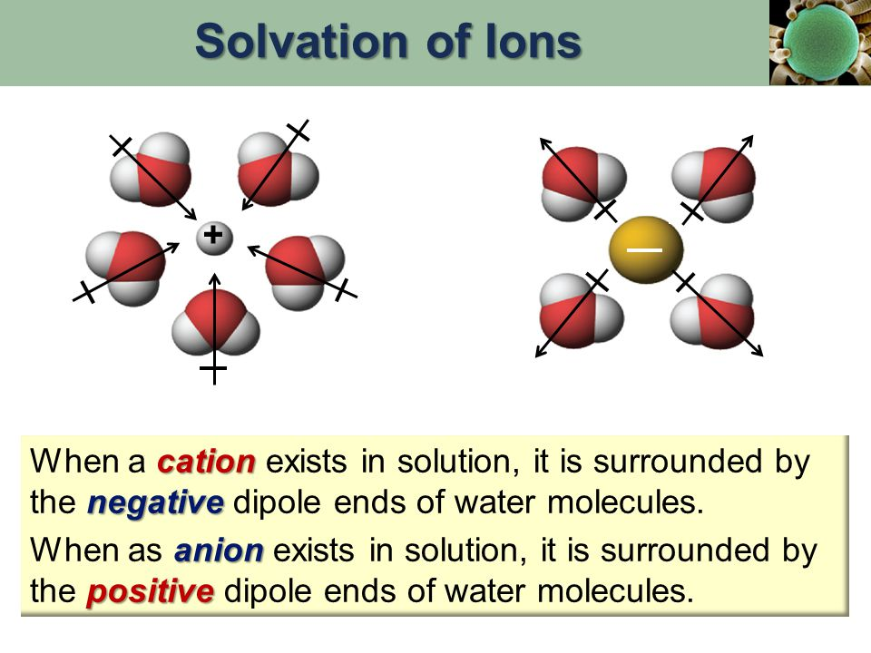 Solvation of Ions + When a cation exists in solution, it is surrounded by the negative dipole ends of water molecules.