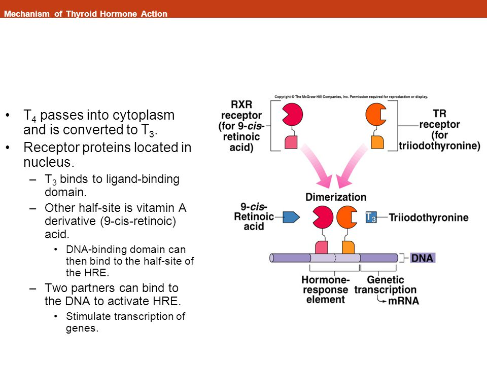 Mechanism of Thyroid Hormone Action