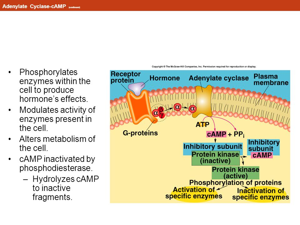 Adenylate Cyclase-cAMP (continued)