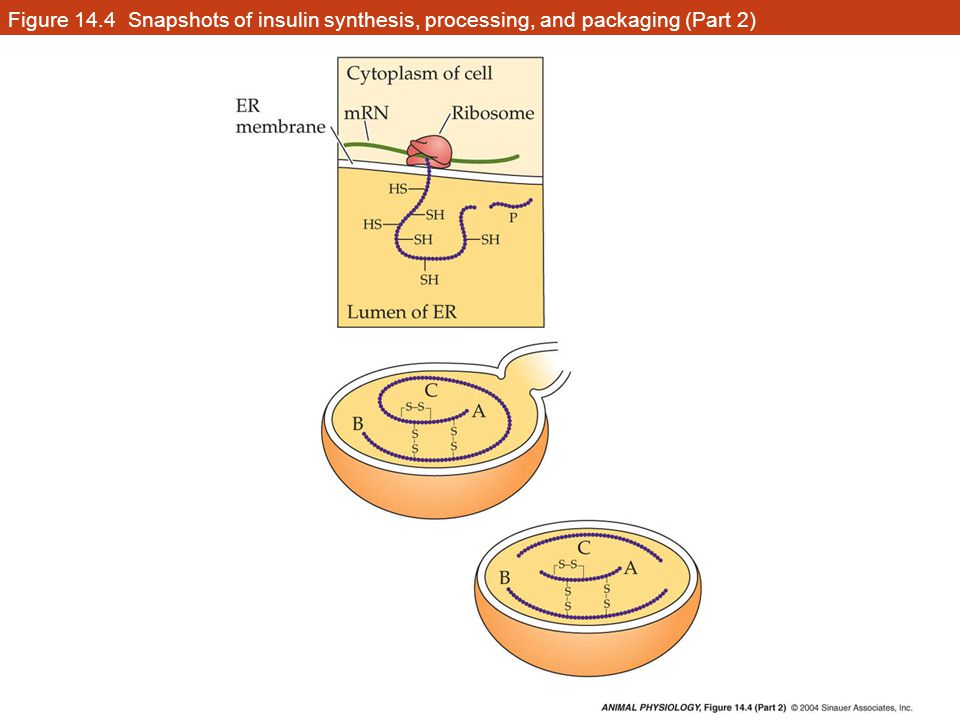 Figure 14.4 Snapshots of insulin synthesis, processing, and packaging (Part 2)