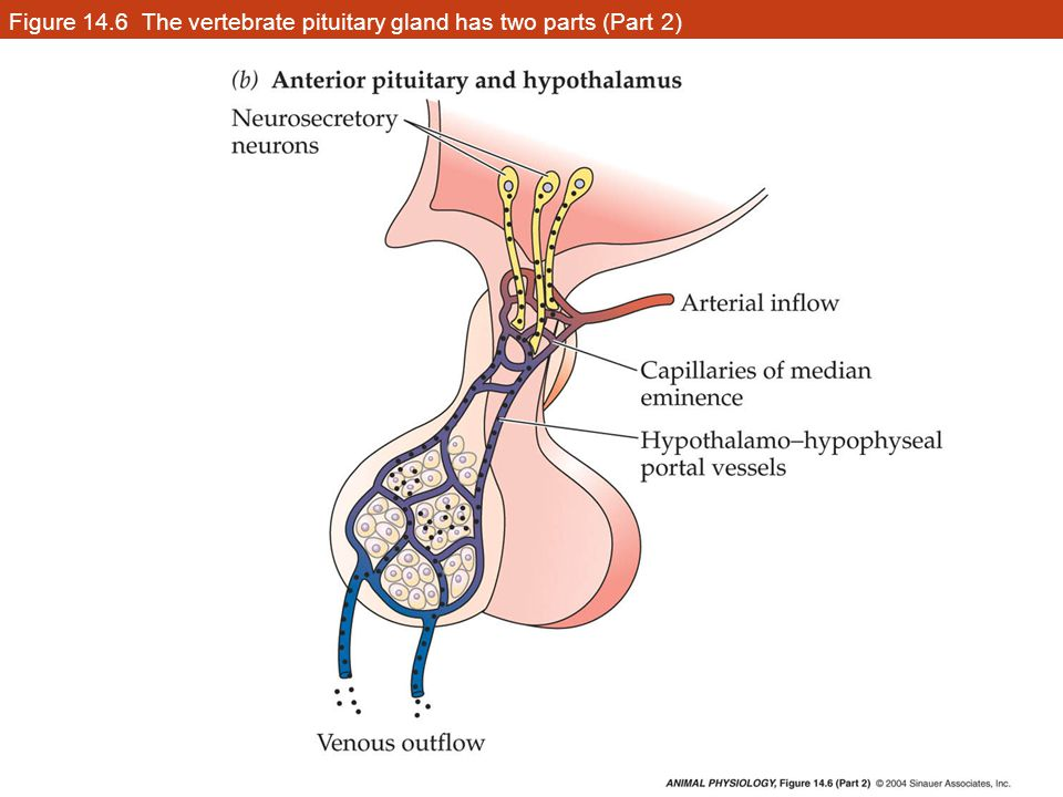 Figure 14.6 The vertebrate pituitary gland has two parts (Part 2)