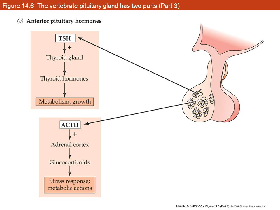Figure 14.6 The vertebrate pituitary gland has two parts (Part 3)