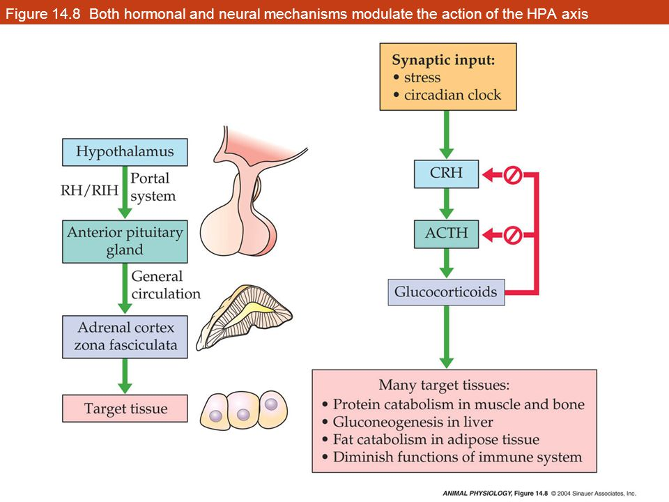 Figure 14.8 Both hormonal and neural mechanisms modulate the action of the HPA axis