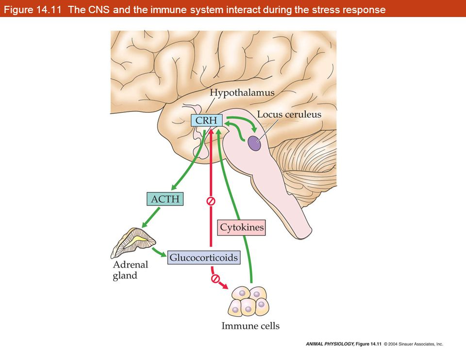 Figure 14.11 The CNS and the immune system interact during the stress response