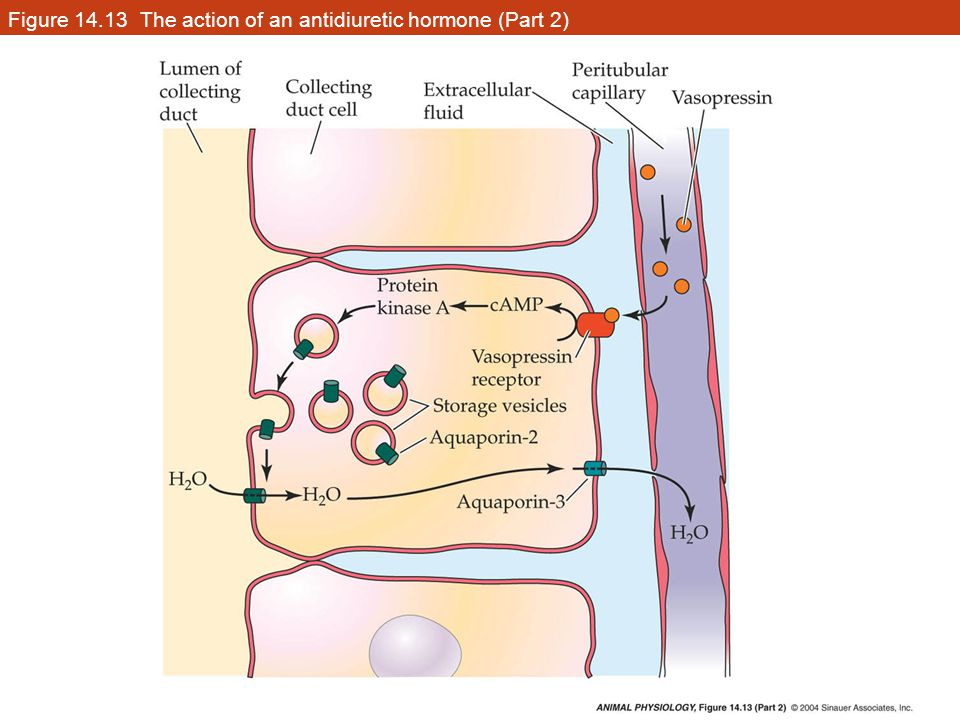 Figure 14.13 The action of an antidiuretic hormone (Part 2)