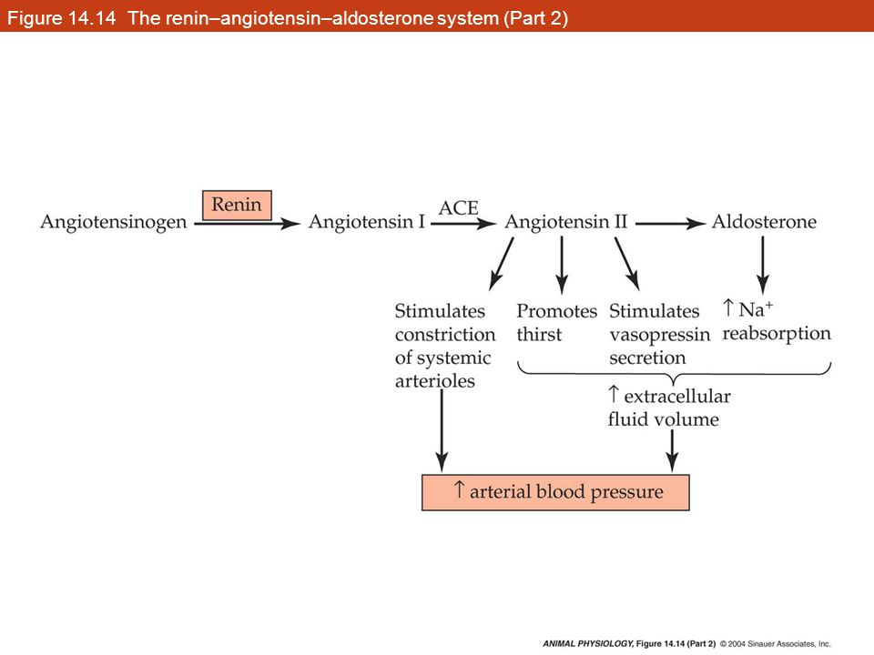 Figure 14.14 The renin–angiotensin–aldosterone system (Part 2)