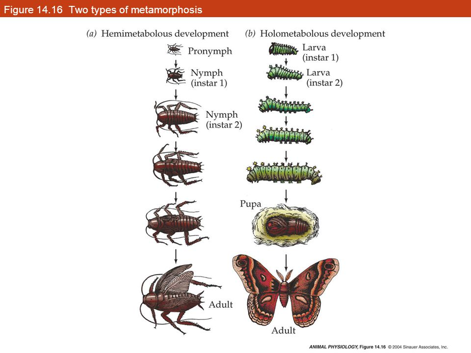 Figure 14.16 Two types of metamorphosis