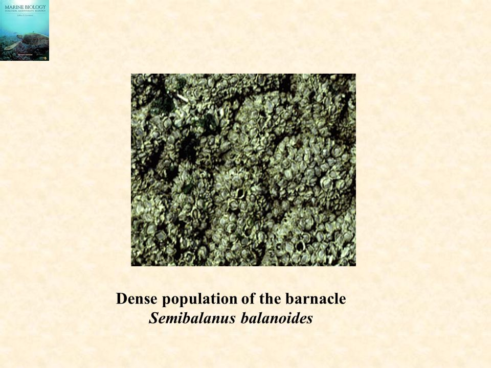 Dense population of the barnacle Semibalanus balanoides
