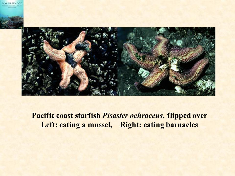 Pacific coast starfish Pisaster ochraceus, flipped over
