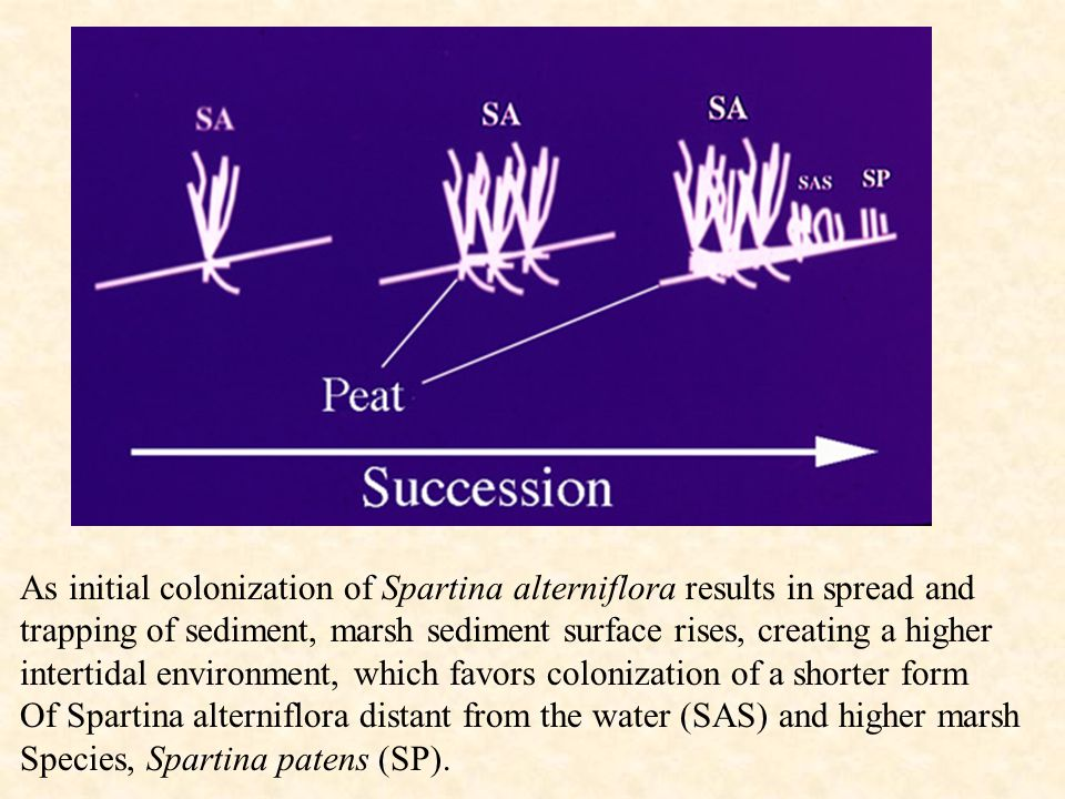 As initial colonization of Spartina alterniflora results in spread and