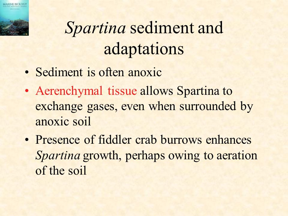 Spartina sediment and adaptations