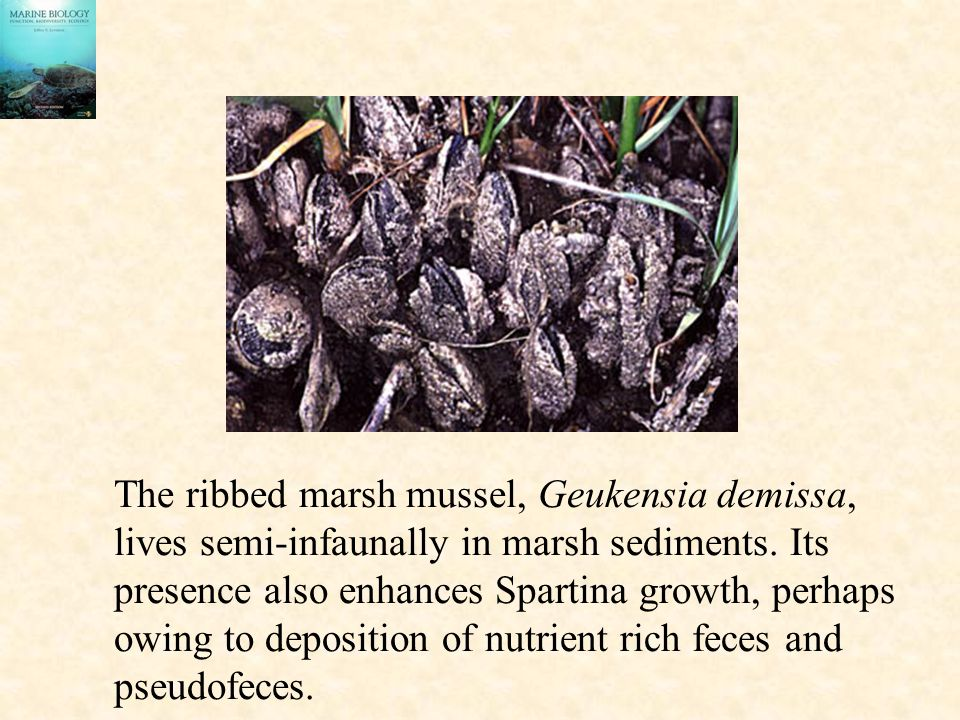 The ribbed marsh mussel, Geukensia demissa,