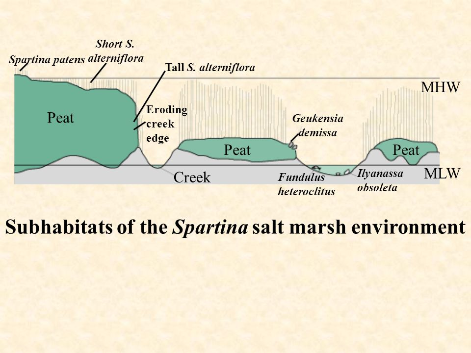 Subhabitats of the Spartina salt marsh environment