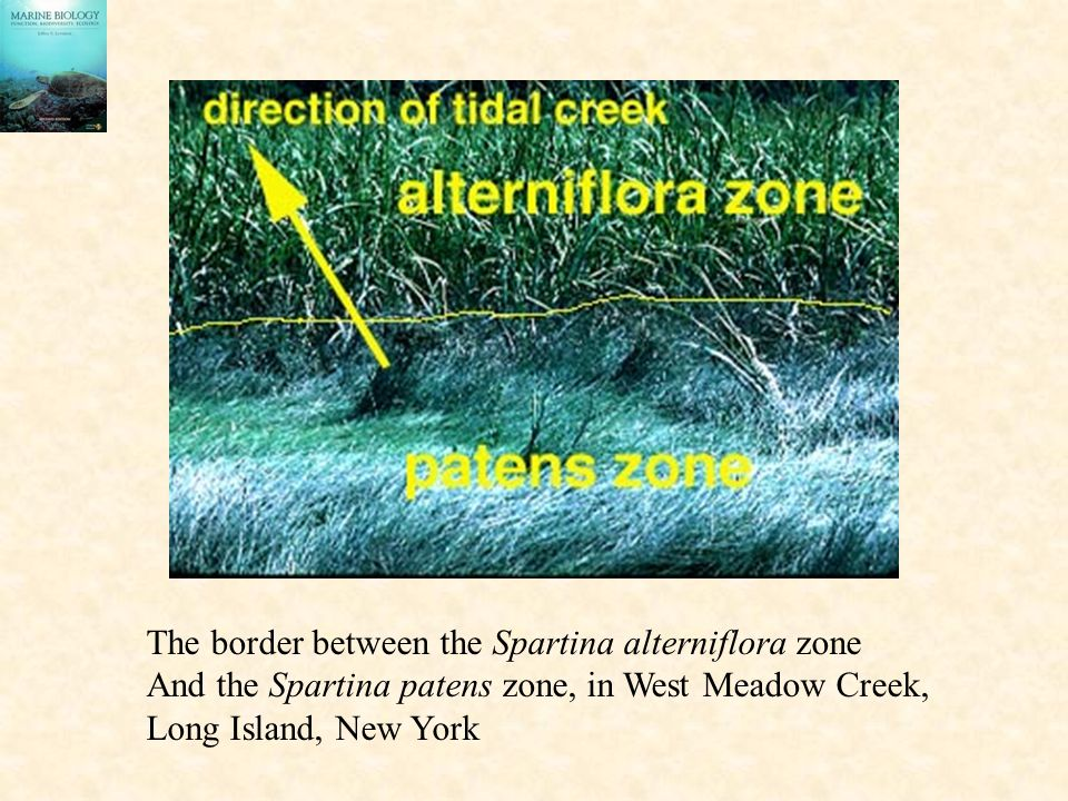 The border between the Spartina alterniflora zone