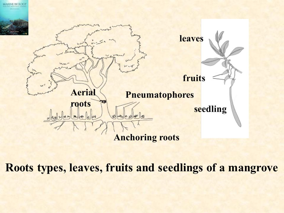 Roots types, leaves, fruits and seedlings of a mangrove