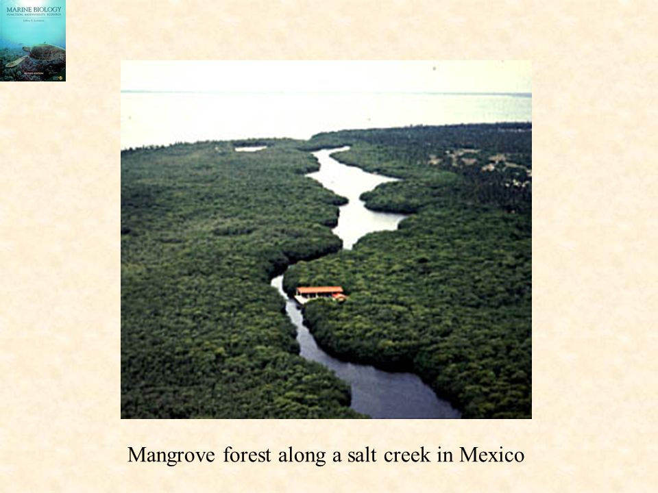 Mangrove forest along a salt creek in Mexico