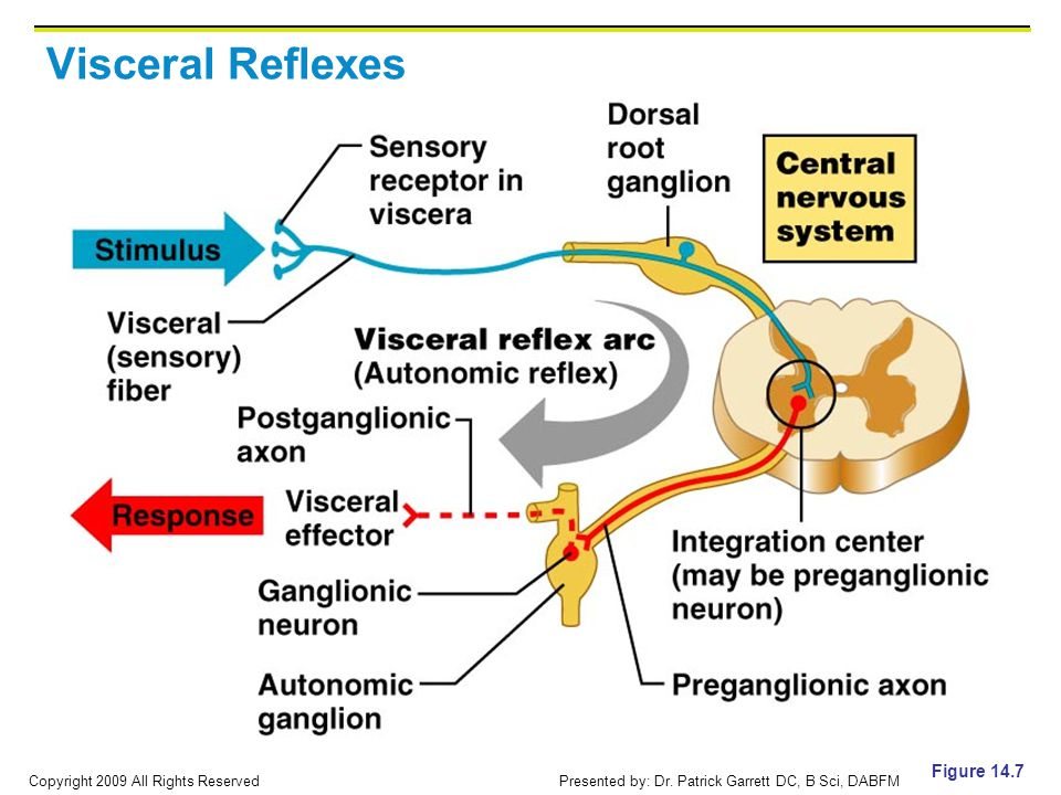 Visceral Reflexes Figure 14.7