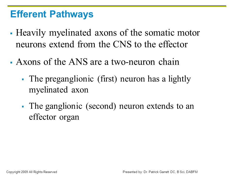 Axons of the ANS are a two-neuron chain