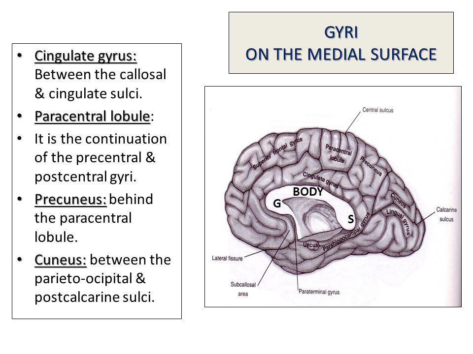 GYRI ON THE MEDIAL SURFACE