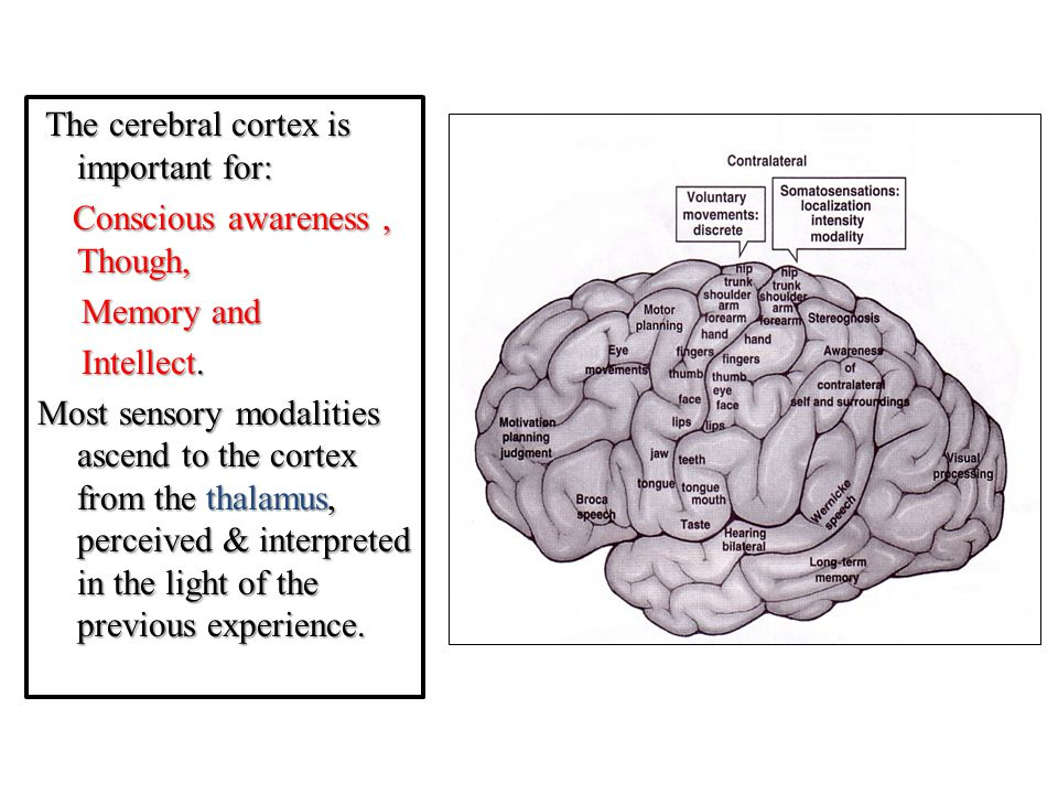 The cerebral cortex is important for: Conscious awareness , Though, Memory and Intellect.