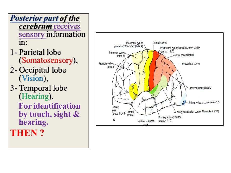 THEN Posterior part of the cerebrum receives sensory information in: