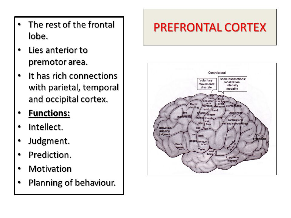 PREFRONTAL CORTEX The rest of the frontal lobe.