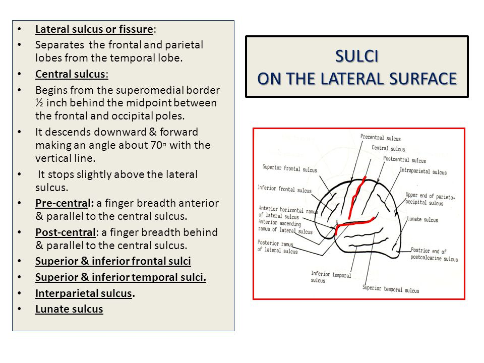 SULCI ON THE LATERAL SURFACE