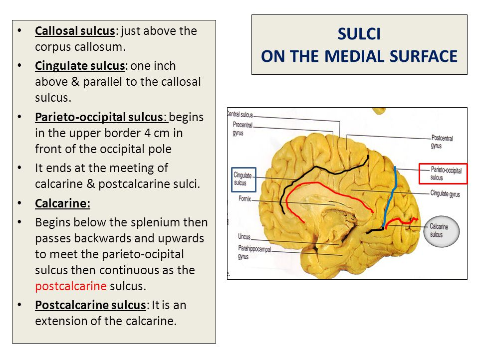 SULCI ON THE MEDIAL SURFACE