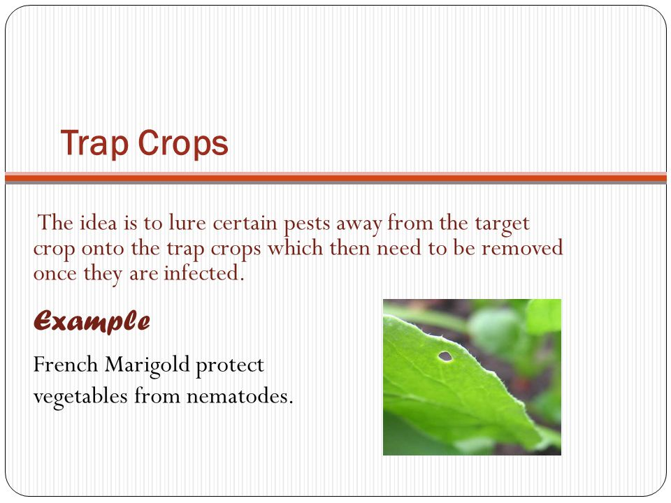 Trap Crops French Marigold protect vegetables from nematodes.